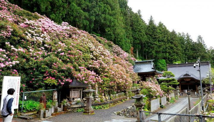 横峰寺のシャクナゲ満開 境内を囲む斜面に約500本 四国霊場60番札所
