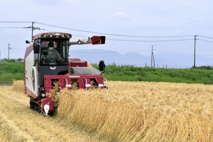 裸麦の収穫最盛期 松前 34年連続生産量日本一