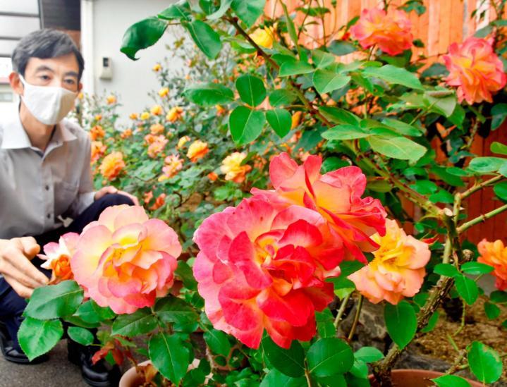 アンネのバラ開花 オレンジから濃いピンクに変化 今治・カルバリイ教会