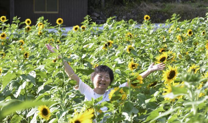 中津川地区でヒマワリ見頃 2千本が人々に元気与える 八幡浜