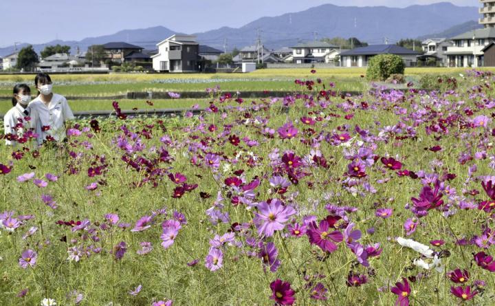 秋の風景楽しんで コスモス150万本見頃 東温・見奈良 例年より2週間遅れ