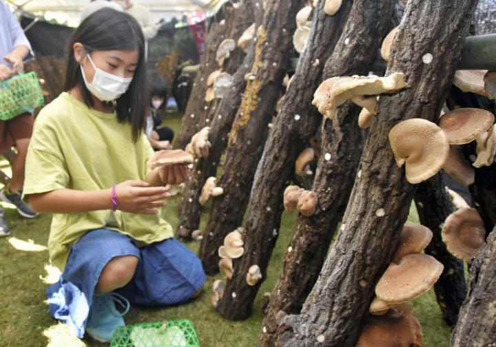 今治・湯ノ浦で「しいたけまつり」 家族連れ収穫楽しむ 温泉水使ってシイタケ栽培