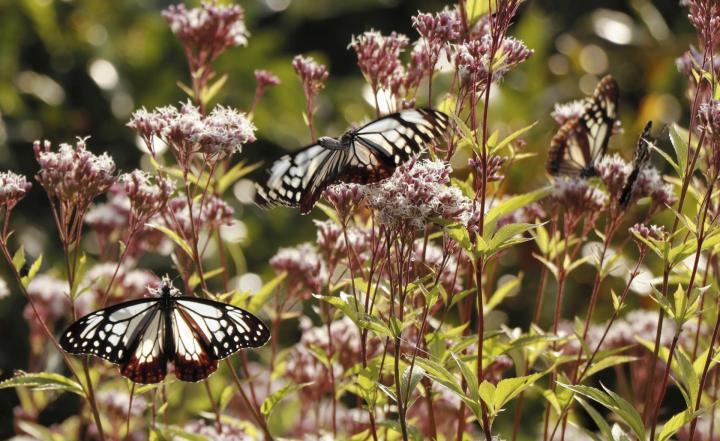 宇和島のかんきつ園に舞うアサギマダラ 10月末まで飛来 「旅するチョウ」今年も