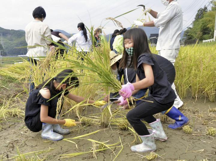 マリ共和国向けの支援米稲刈り 連合愛媛が栽培 松山 食料不足に苦しむ国へ