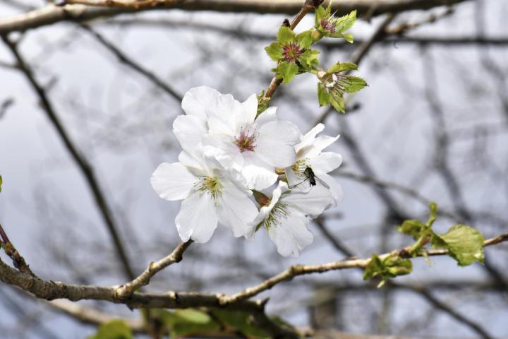 新居浜で季節外れのサクラ咲く 暖かい気温が影響か 20輪以上
